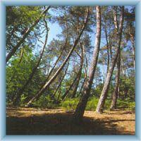 Tanzige Wald